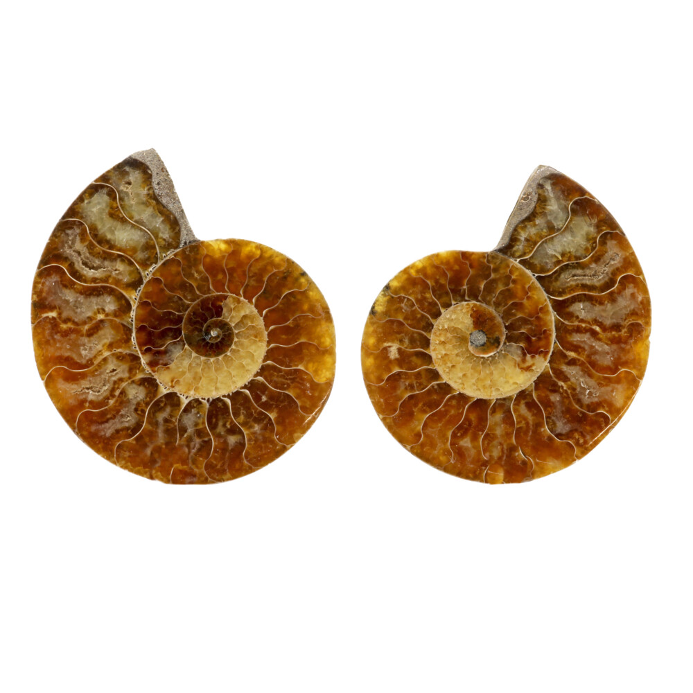 Ammonite Fossil Pair -Small Medium