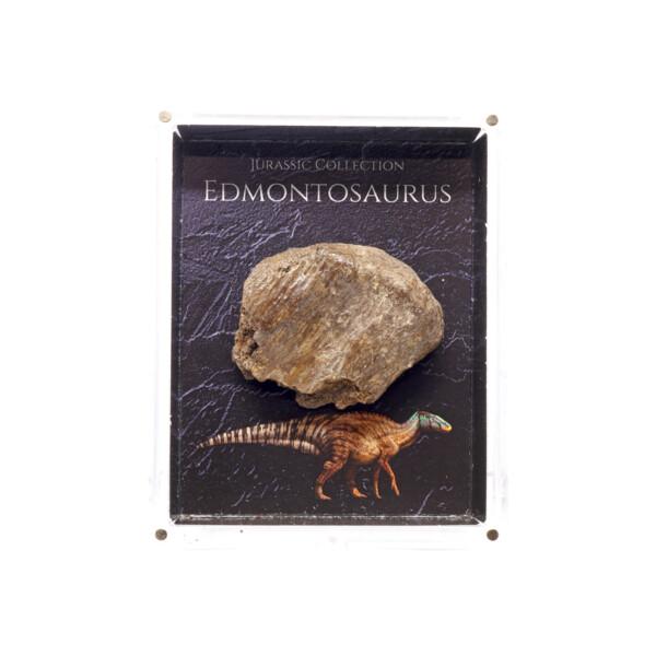 Closeup photo of Jurassic Collection - Edmontonsaurus Dinosaur Fossil