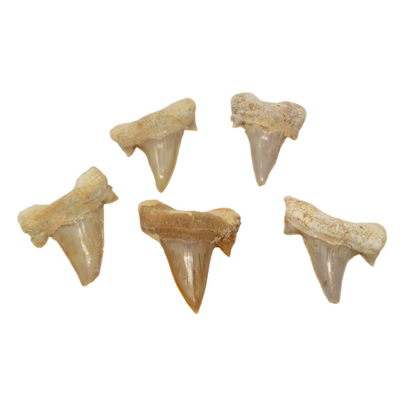 Closeup photo of Otudus Shark Tooth (Singles)