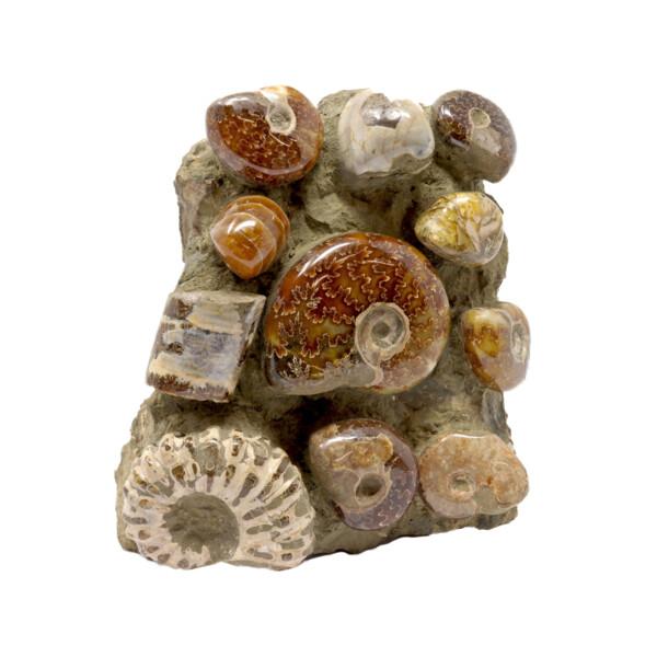 Closeup photo of Madagascar Ammonite Seabed Cluster With Nautilus