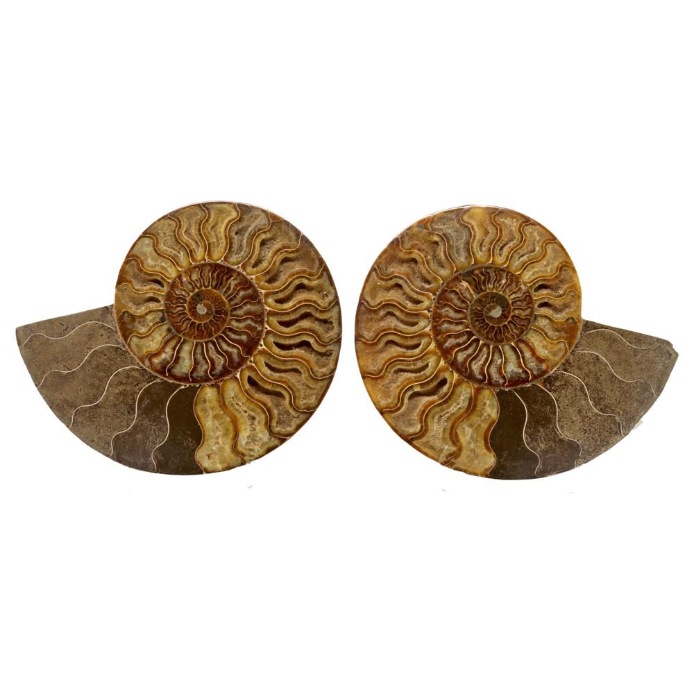 Ammonite Fossil Pair