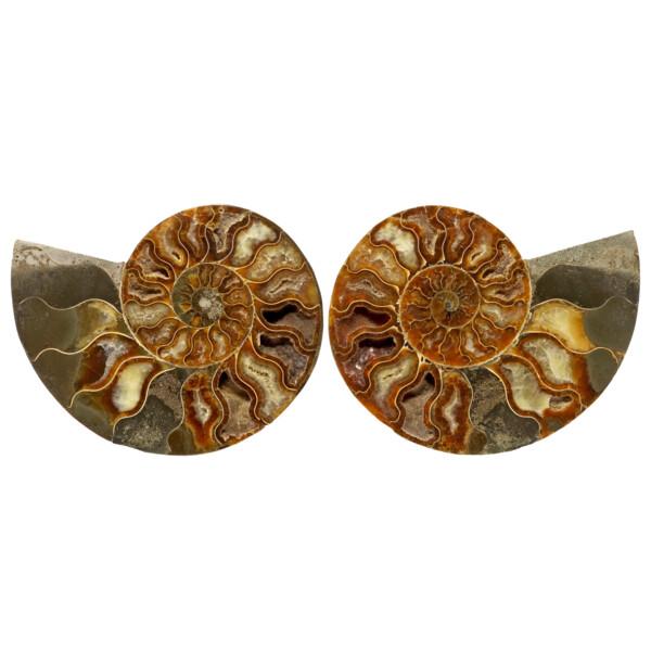 Closeup photo of Ammonite Fossil Pair