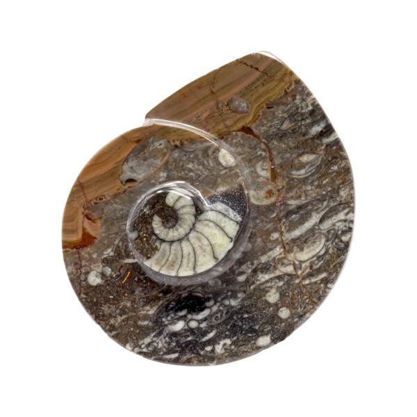 Closeup photo of Ammonite And Orthoceras Fossil Dish In Black Seabed
