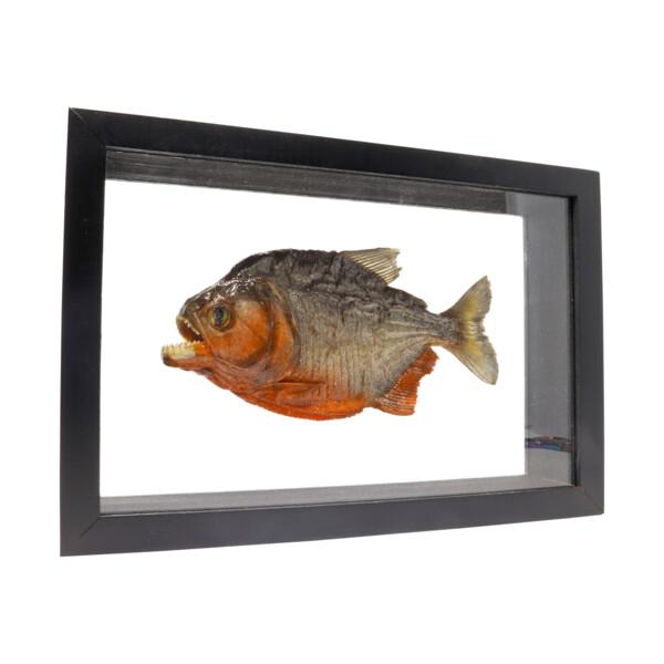 Closeup photo of Piranha Fish Frame