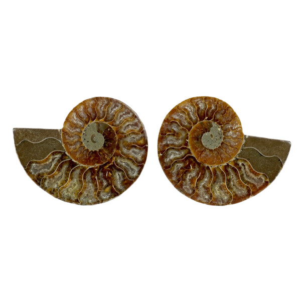 "Closeup photo of Ammonite Fossil Pair 3"" - 4"""