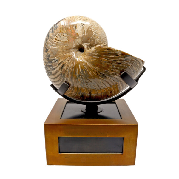 Closeup photo of Two Tone Nautiloid Fossil Shell In Custom Spinner Stand