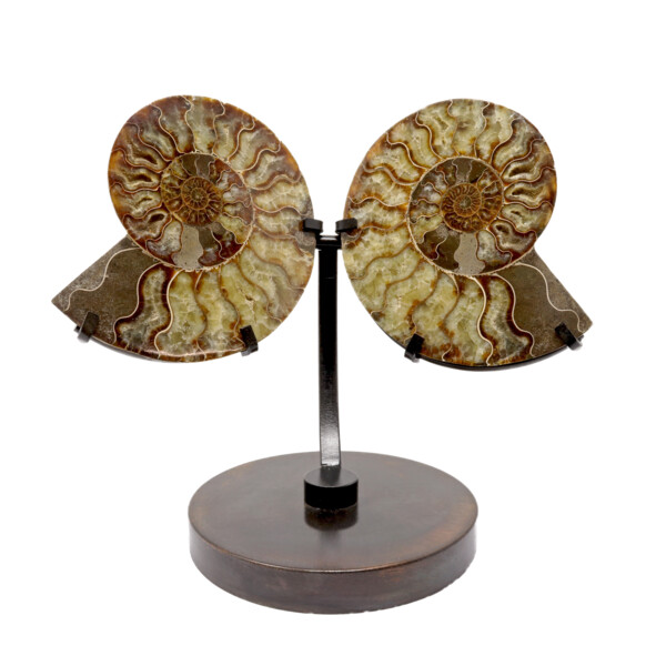 Closeup photo of Ammonite Fossil Pair On Custom Metal Stand #4