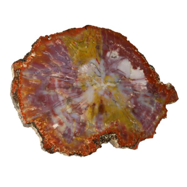 Closeup photo of Arizona Petrified Wood Slice - Yellow Stripe Across