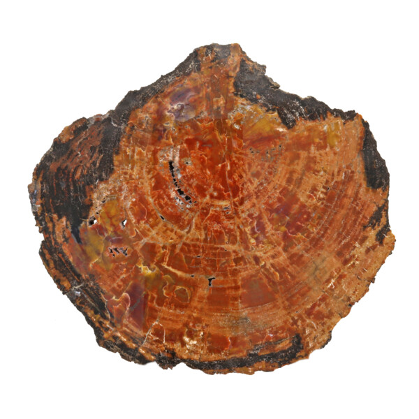 Closeup photo of Arizona Petrified Wood Slice - Orange With Black Exterior