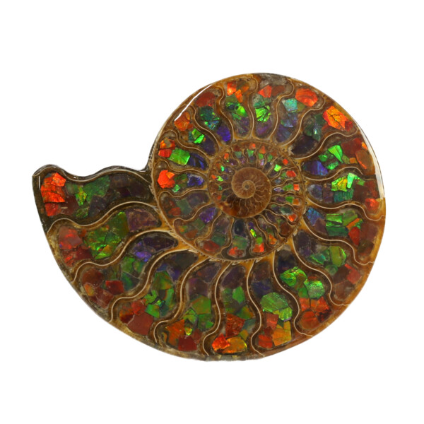 Closeup photo of Ammonite Fossil Inlaid with Ammolite