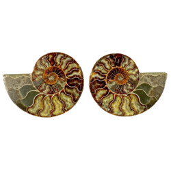 Closeup photo of Ammonite Fossil Pair On Acrylic Stands With Light Calcite Open Chambers
