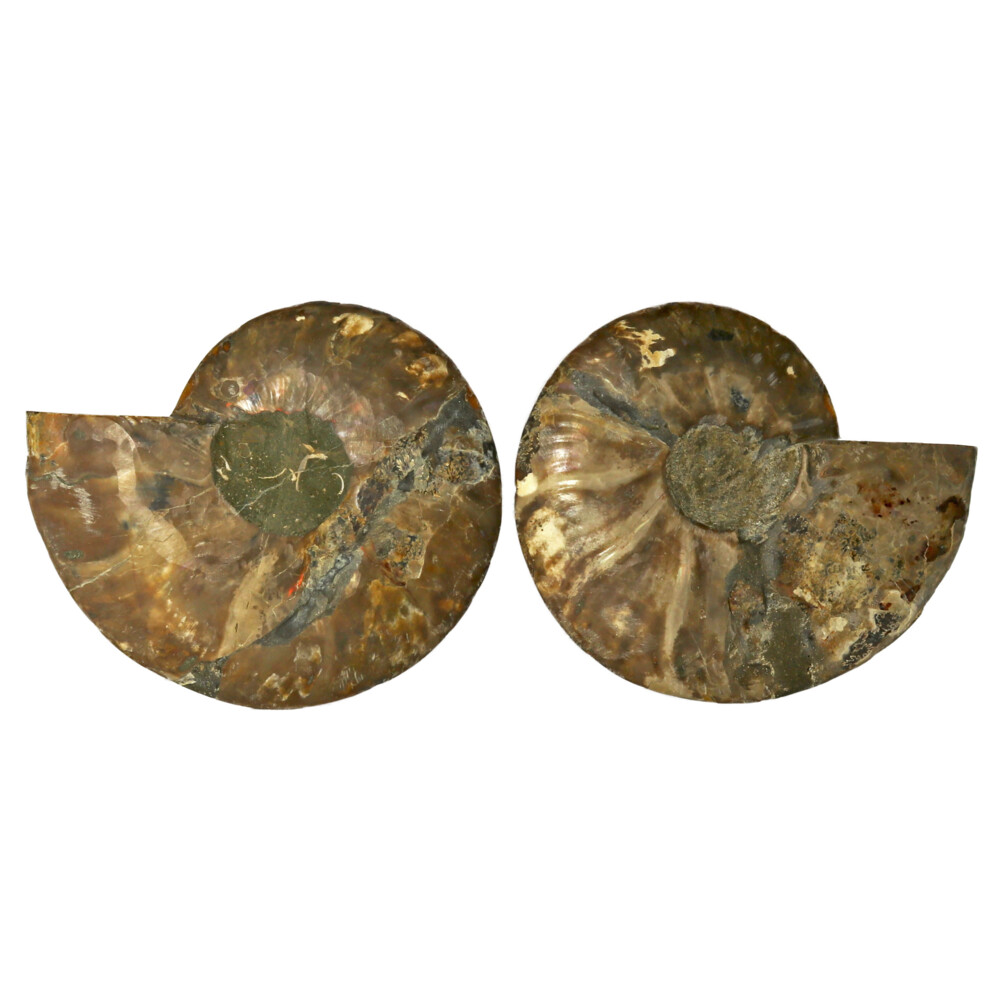 Ammonite Fossil Pair On Acrylic Stands With Dark Calcite Chambers