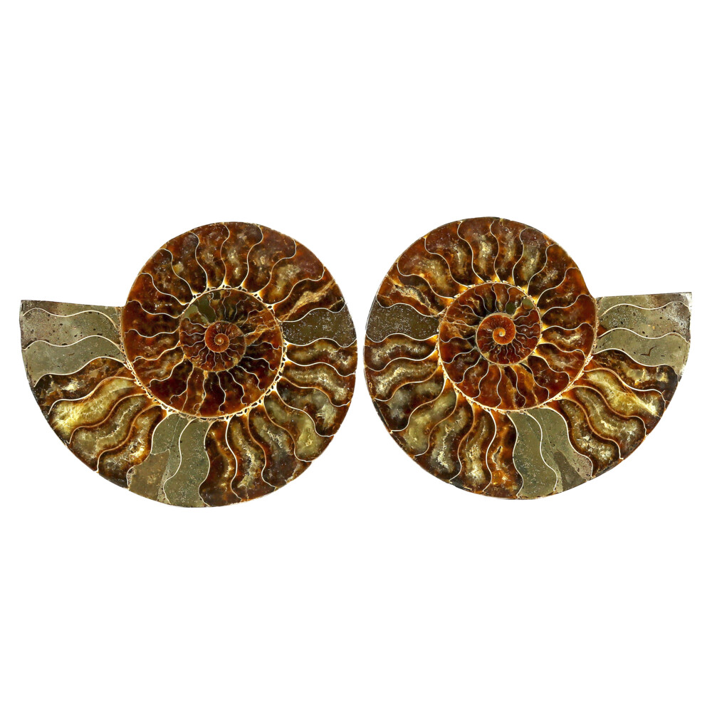 Image 2 for Ammonite Fossil Pair On Acrylic Stands With Dark Calcite Chambers