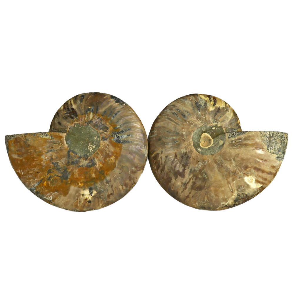 Ammonite Fossil Pair On Acrylic Stands With Dark & Light Calcite Open Chambers