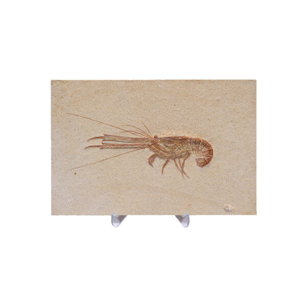 Closeup photo of Shrimp Fossil from Germany